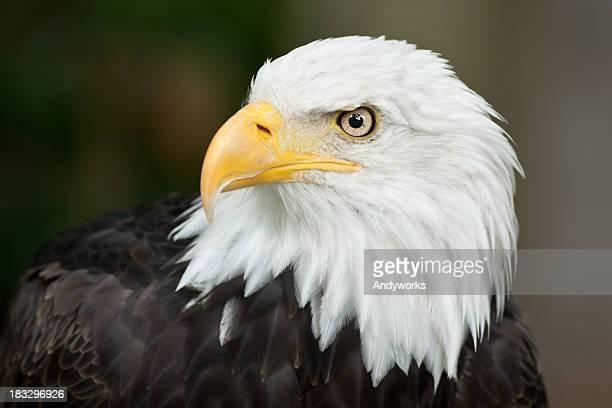 beautiful bald eagle (haliaeetus leucocephalus) - eagle bird stock photos and pictures