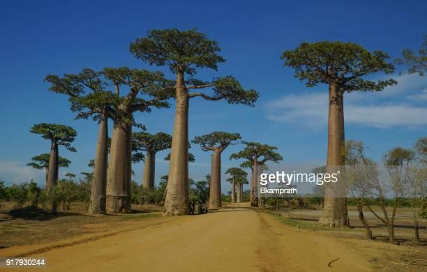 baobabs magnifique sur l'île de madagascar afrique - madagascar enfant photos et images de collection