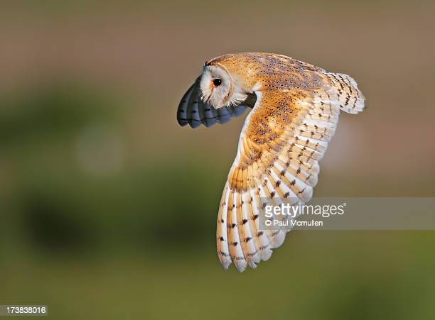 beautiful barn owl - barn owl stock pictures, royalty-free photos & images