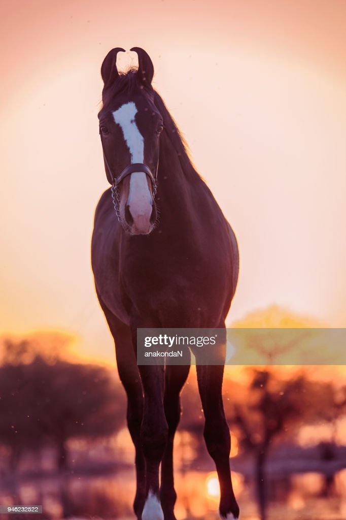Beautiful Bay Marwari Young Horse Against Lake Sunset India High Res Stock Photo Getty Images