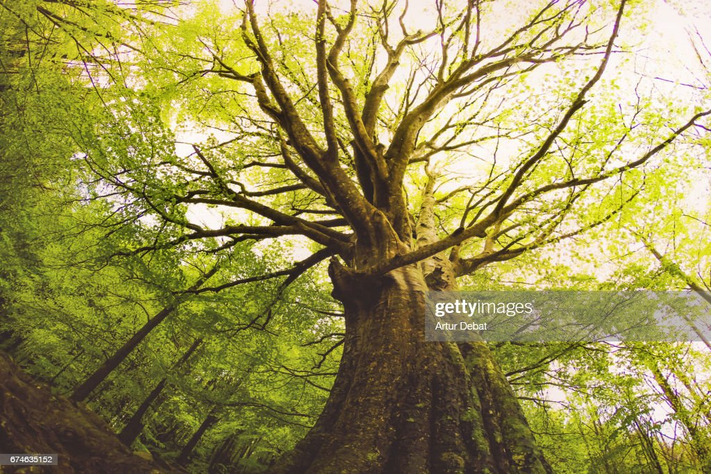 Beautiful beech tree taken directly from below with nice and old trunk during springtime with beautiful green colors in the Montseny nature reserve in the Catalonia region. : Stock Photo