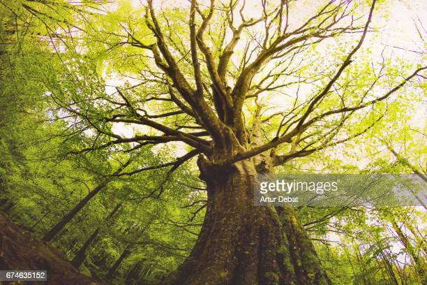 Beautiful beech tree taken directly from below with nice and old trunk during springtime with beautiful green colors in the Montseny nature reserve in the Catalonia region.