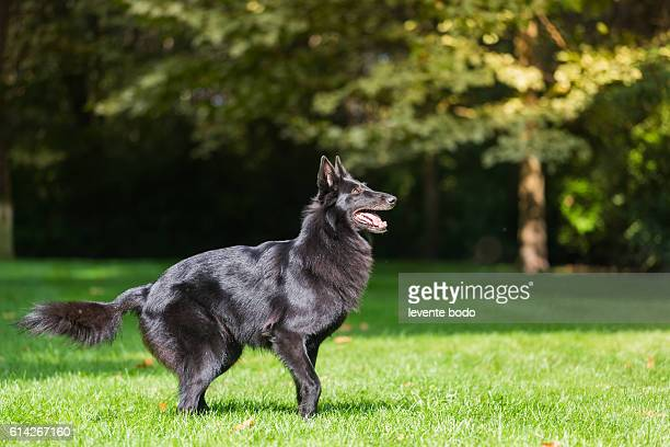 Beautiful belgian sheepdgog Groenendaels agility training.