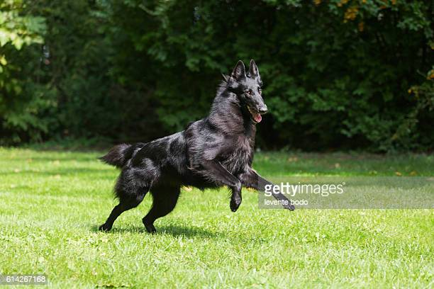 beautiful belgian sheepdgog groenendaels agility training. - hungary vs belgium stock photos and pictures