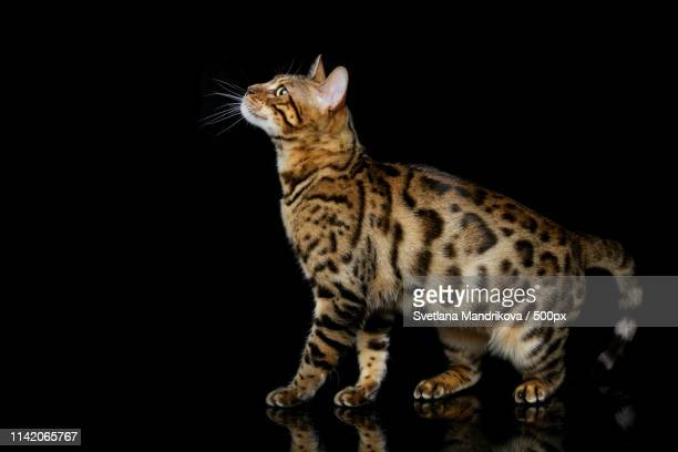 beautiful bengal cat - トラ猫 ストックフォトと画像