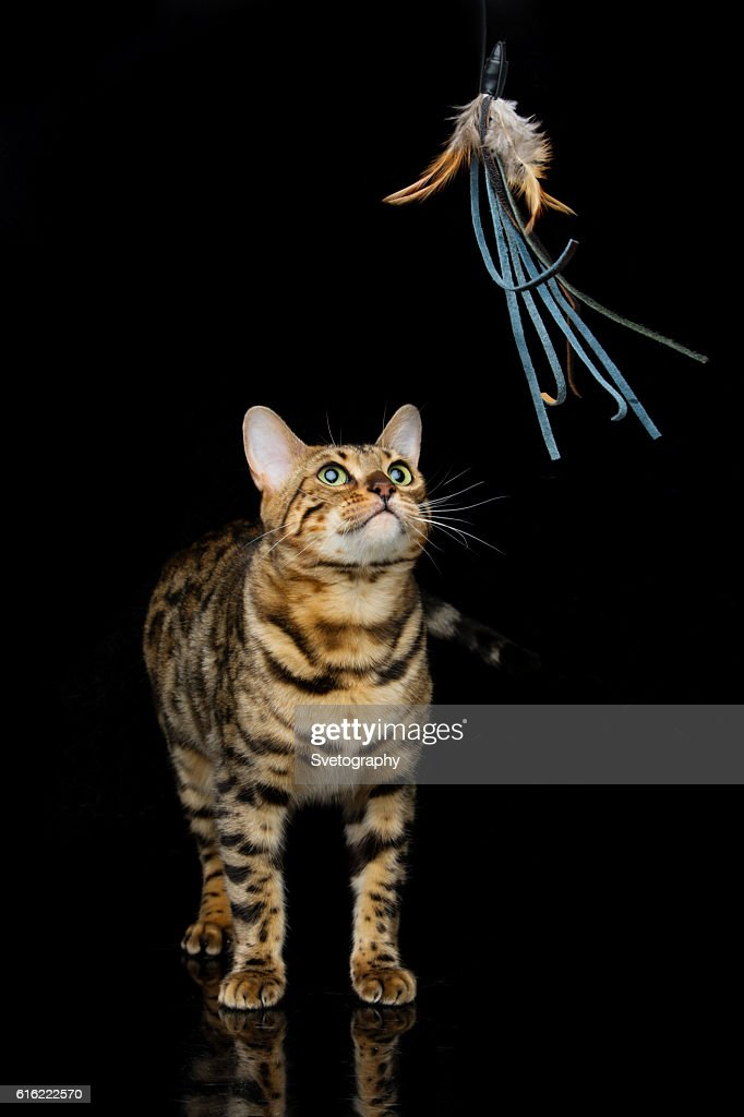 Beautiful bengal cat : Stock Photo