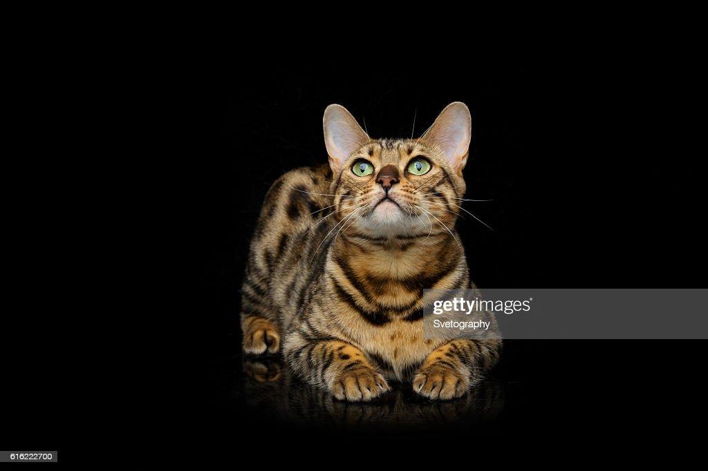 Beautiful bengal cat : Stockfoto
