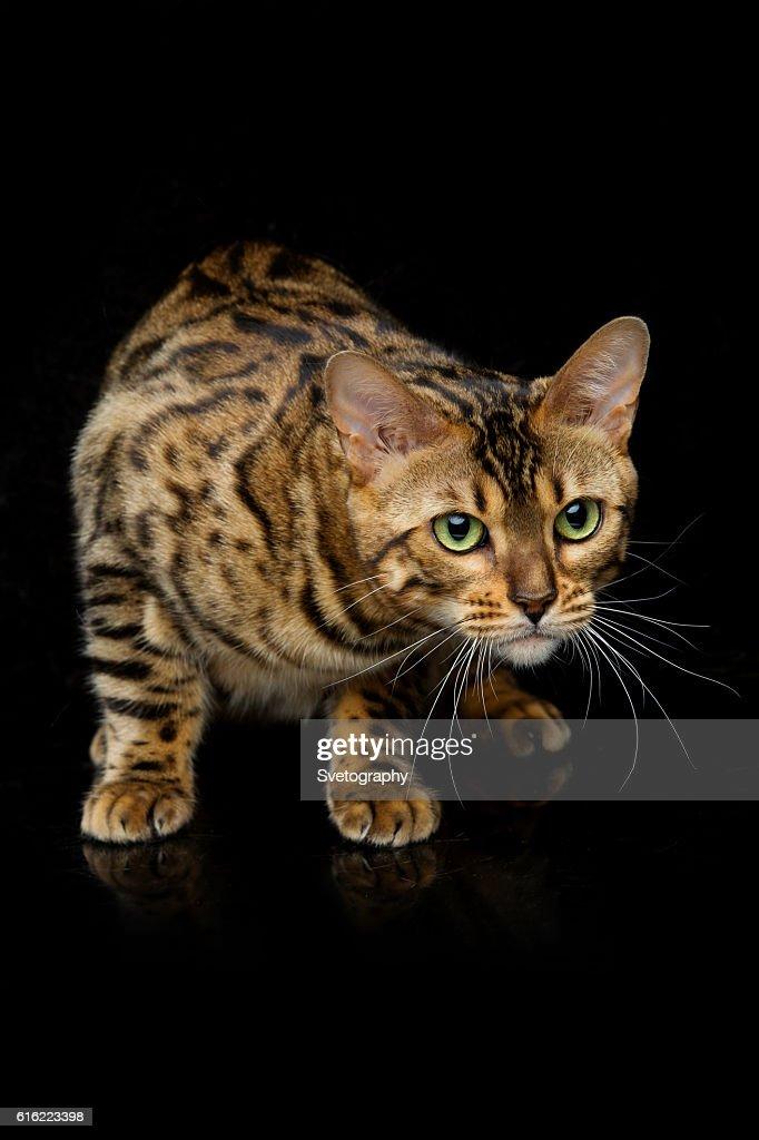 Schöne bengal-Katze : Stock-Foto