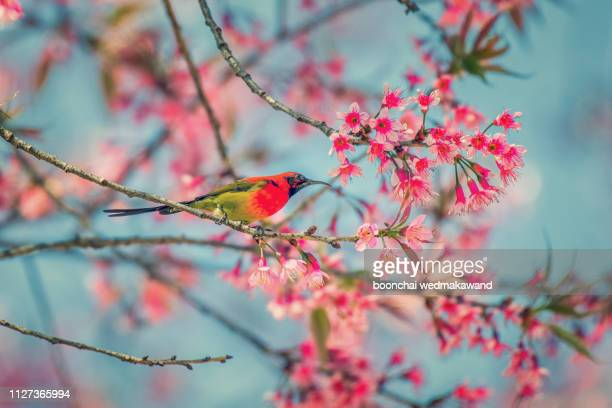 beautiful bird, mrs. gould's sunbird; aethopyga gouldiae male birds of thailand. bird on cherry blossom. - 自生 ストックフォトと画像