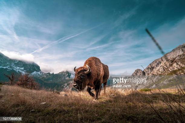beautiful bison in the mountains walking towards the camera - wilderness area stock pictures, royalty-free photos & images