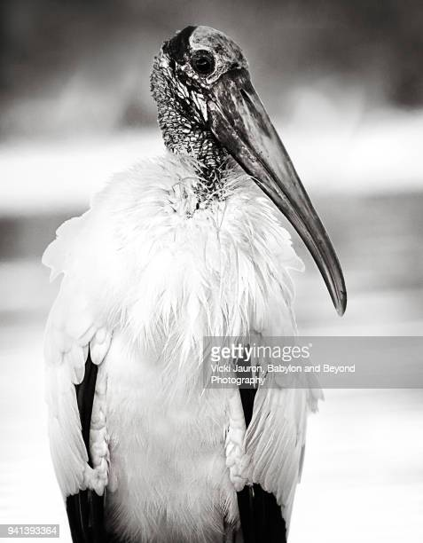 Beautiful Black and White Portrait of a Wood Stork at Fort Myers Beach