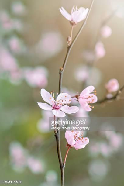 beautiful black cherry plum, pink, spring blossom flowers - prunus cerasifera nigra - season stock pictures, royalty-free photos & images