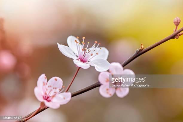 beautiful black cherry plum, pink, spring blossom flowers - prunus cerasifera nigra - branch stock pictures, royalty-free photos & images