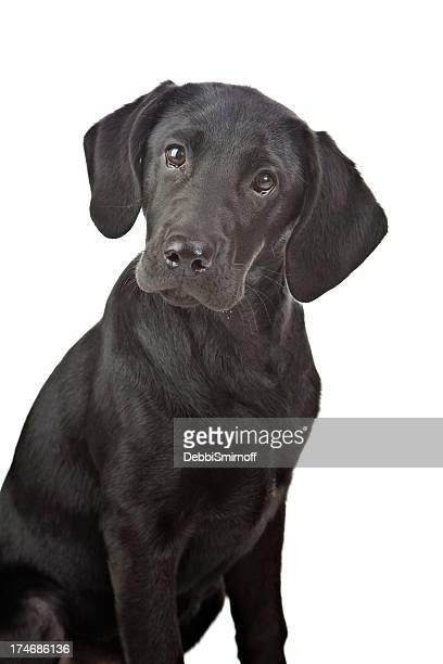 Beautiful Black Labrador