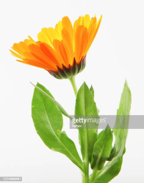 beautiful blossoming yellow marigold isolated on white background. calendula officinalis - fleurs en gros plan photos et images de collection