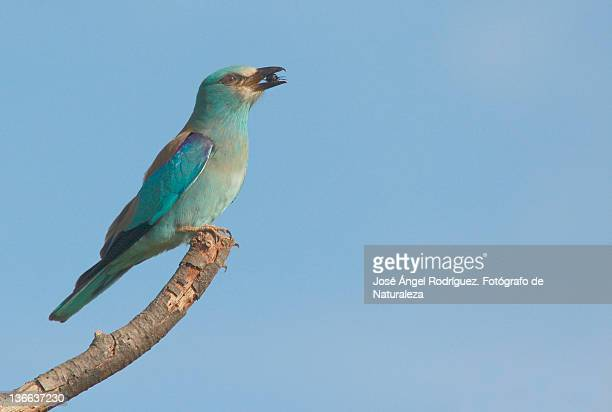 beautiful blue bird against clear sky - fotógrafo stock photos and pictures