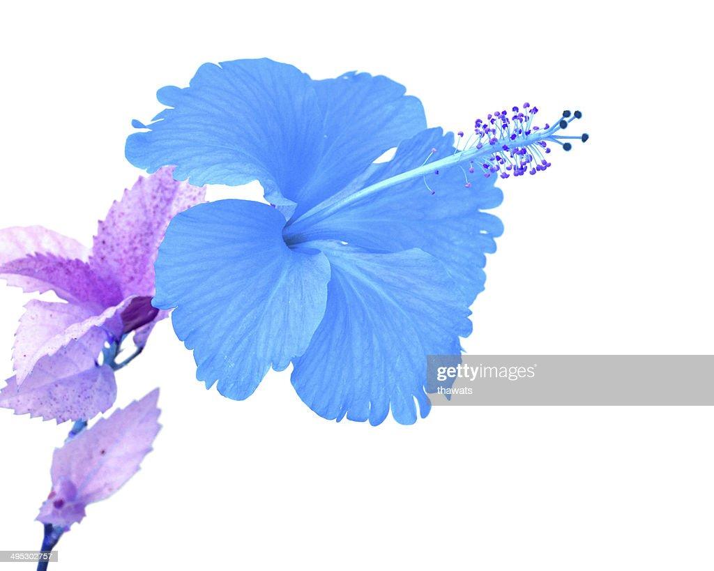 Beautiful blue hibiscus flower stock photo getty images beautiful blue hibiscus flower stock photo izmirmasajfo