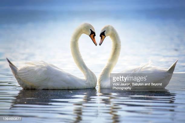 beautiful blue loving elegant heart of swans in springtime - tierpaarung stock-fotos und bilder