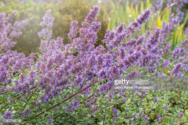 beautiful, blue summer flowers of nepeta grandiflora 'bramdean' - catmint stock pictures, royalty-free photos & images
