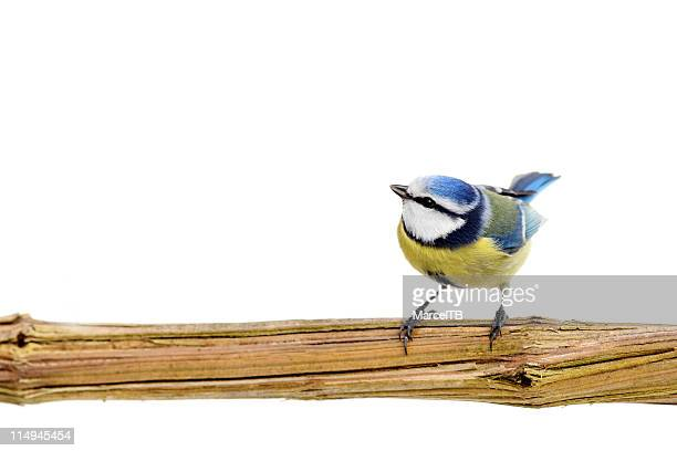 beautiful blue tit - bird stock photos and pictures