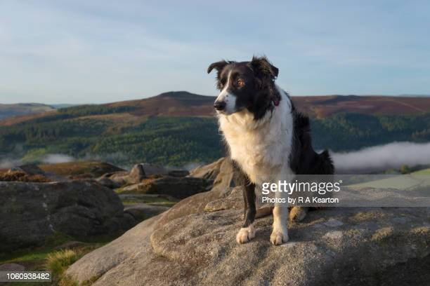 beautiful border collie in the hills of the peak district, england - border collie fotografías e imágenes de stock