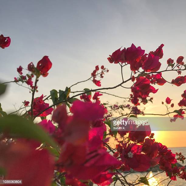 beautiful bougainvillea by the jetty at sunset. - tropical bush stock photos and pictures