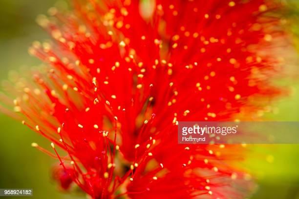 Beautiful brush like bright red flowers