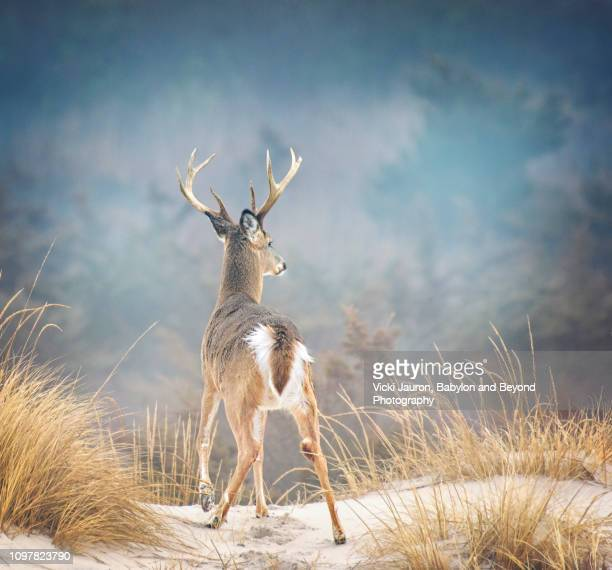 beautiful buck deer in gorgeous setting at fire island national seashore - cerbiatto foto e immagini stock
