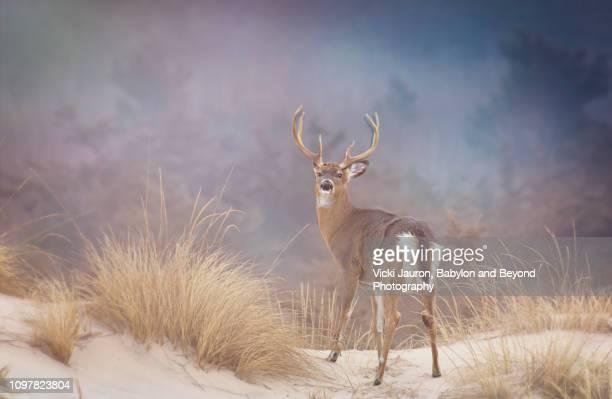 Beautiful Buck Deer Looking Back in Gorgeous Setting at Fire Island National Seashore