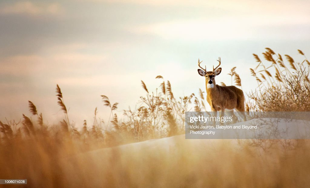 Beautiful Buck White Tailed Deer on the Dunes at Robert Moses State Park : Stock Photo