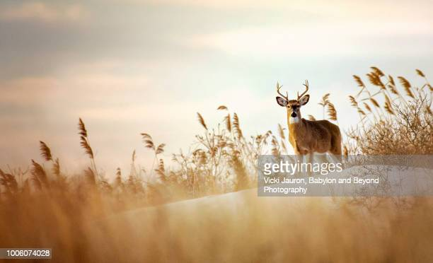 Beautiful Buck White Tailed Deer on the Dunes at Robert Moses State Park