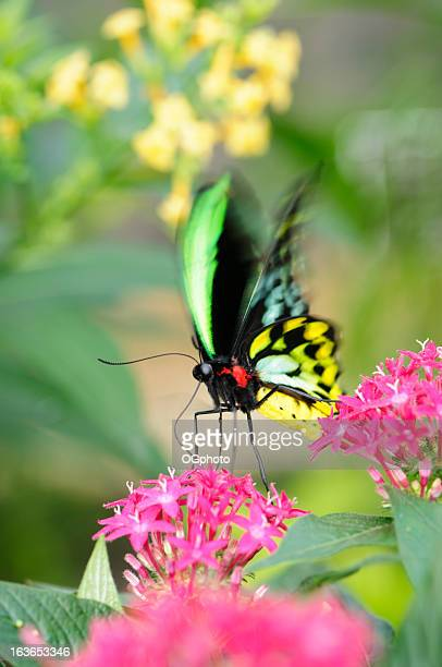 Beautiful butterfly (Ornithoptera priamus) feeding on a pink flower