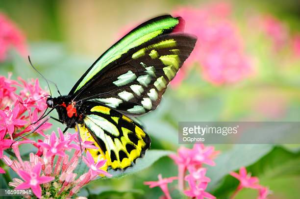 beautiful butterfly (ornithoptera priamus) feeding on a pink flower - ogphoto stock photos and pictures