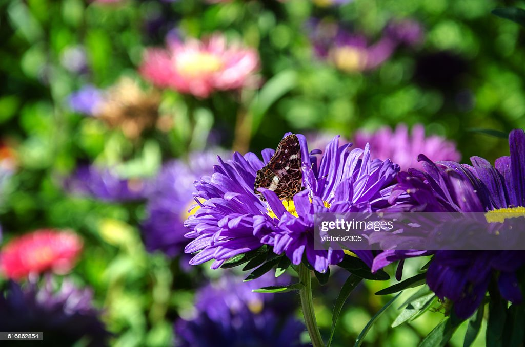 beautiful butterfly on aster : Stock Photo