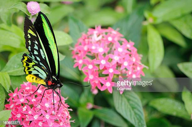 beautiful butterfly on pink flower (ornithoptera priamus) - ogphoto stock pictures, royalty-free photos & images