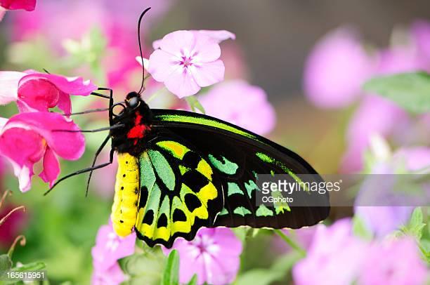 Beautiful butterfly (Ornithoptera priamus)