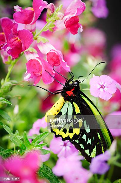 beautiful butterfly (ornithoptera priamus) - ogphoto stock pictures, royalty-free photos & images
