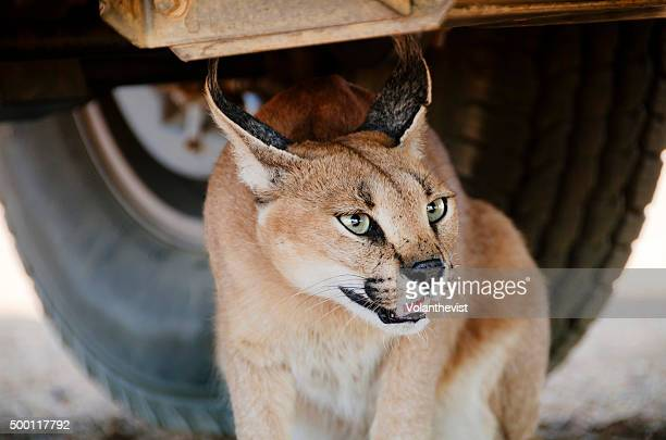Beautiful caracal (medium-sized wild cat) under a car in Namibia, Southern Africa