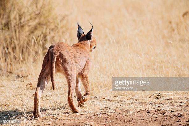 Beautiful caracal (medium-sized wild cat) walking in the bushes, Namibia, Southern Africa