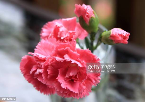 beautiful carnation flower in the glass - carnation flower stock pictures, royalty-free photos & images