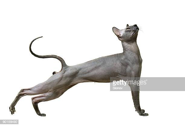 beautiful cat a sphynx - sphynx hairless cat stock photos and pictures