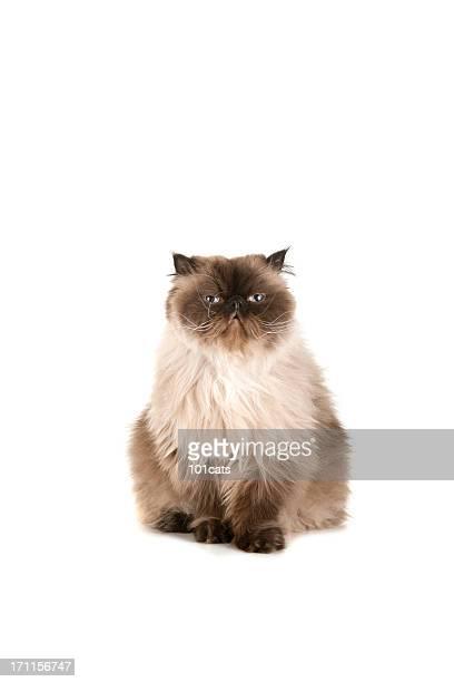 beautiful cat - persian stock photos and pictures
