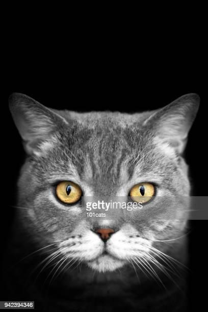 magnifique portrait de chat - moustaches animales photos et images de collection