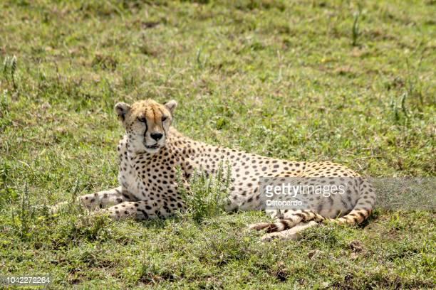 Beautiful Cheetah resting
