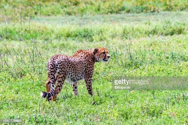 Beautiful Cheetah Standing