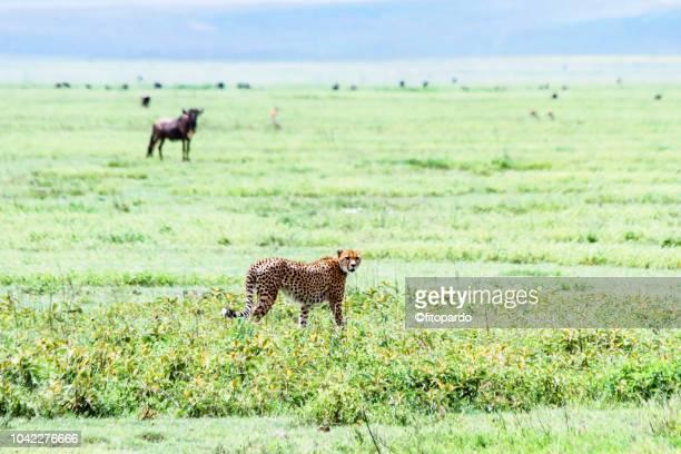 Beautiful Cheetah walking