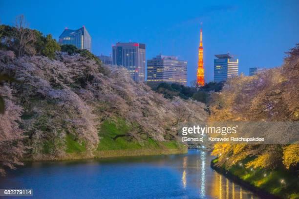 A beautiful cherry blossom at Chidorigafuchi park in Tokyo, Japan