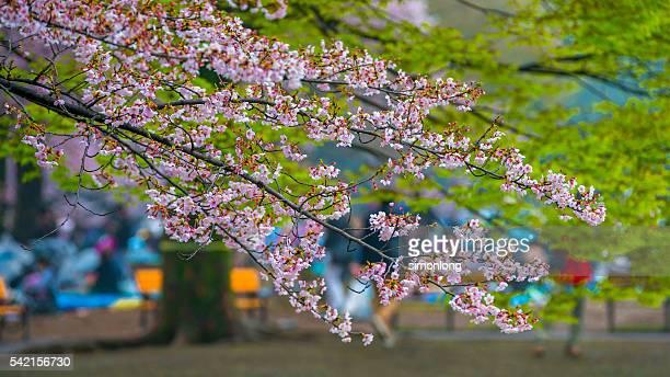 beautiful cherry blossom in Yoyogi park Japan,Tokyo