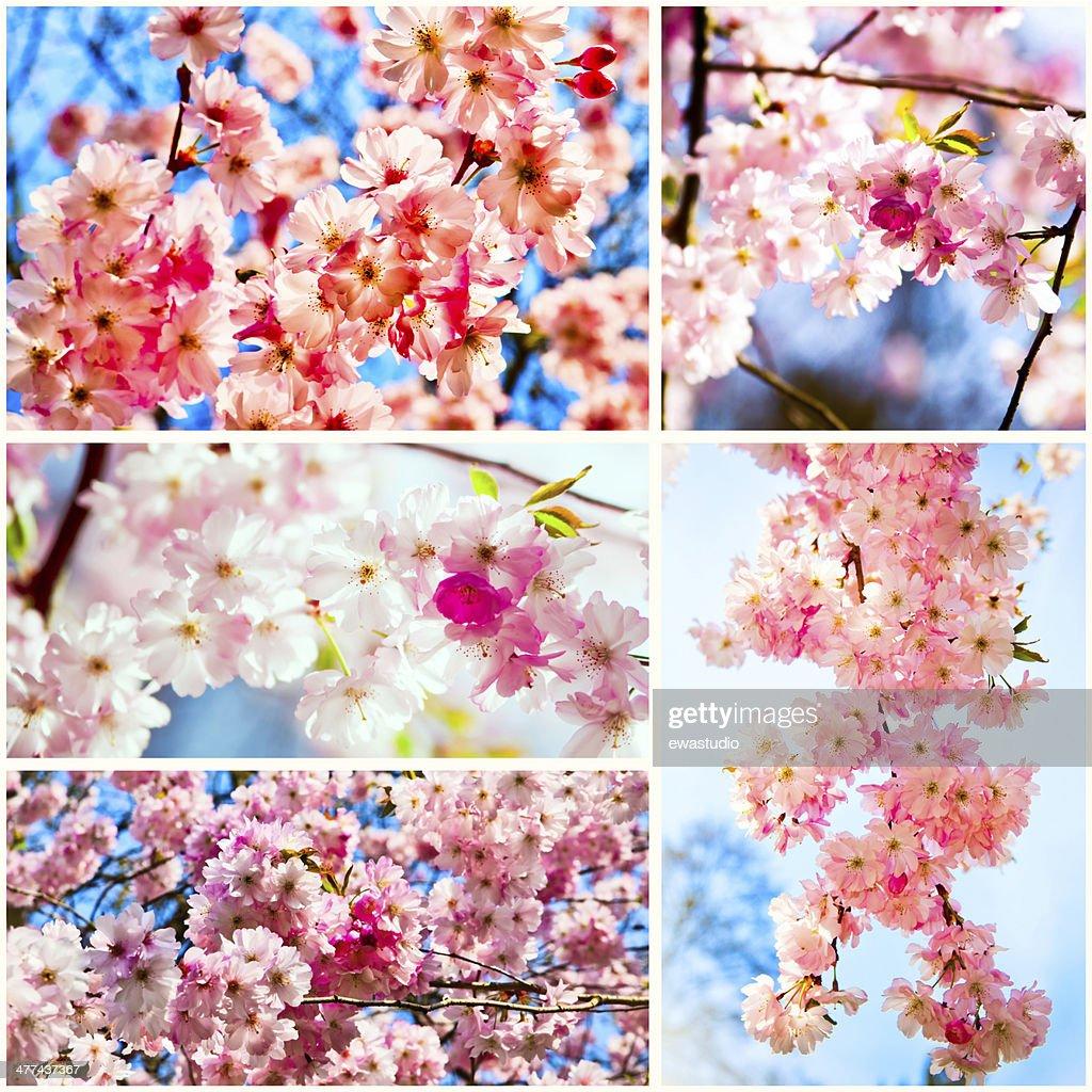 Beautiful Cherry Blossom Pink Sakura Flower Stock Photo Getty Images