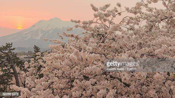beautiful cherry blossom tree at sunset - aomori prefecture stock pictures, royalty-free photos & images